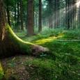 Sunburst in natural Spruce Forest, near the Ground - Fairytale Mood
